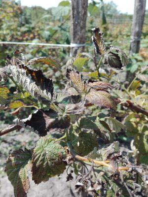 Скручиваются листья у малины