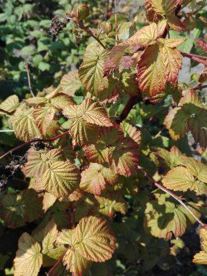 Желтеют листья у малины