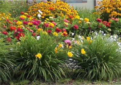С какими только цветами ни сочетаются лилейники!