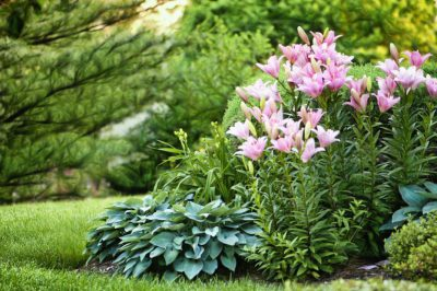 Мощное трио лилейники, лилии, хосты на фоне газона