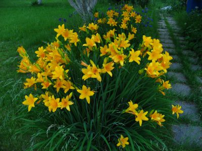 Самый раннецветущий вид лилейник желтый