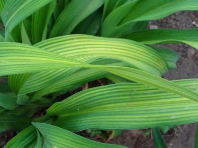 Межжилковый хлороз