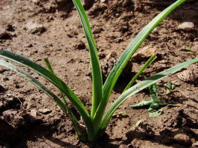 7 Почва должна быть плодородной и рыхлой