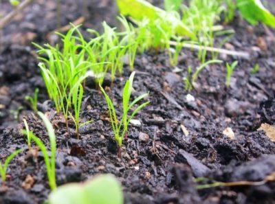 Как вырастить укроп на подоконнике из семян в домашних условиях